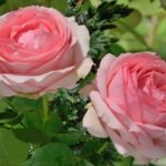 Роза Фёст Леди