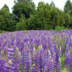 Розы Орара