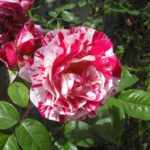 Роза Rinascimento