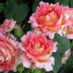 Роза Роз дэ Систэрсьан